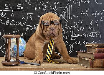 libri, francese, cucciolo, occhiali, mastino