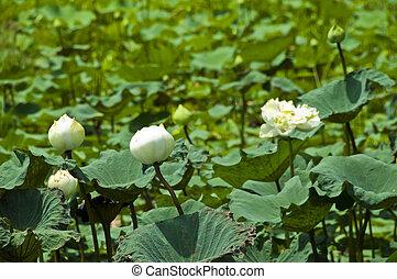 loto, bianco, nature.