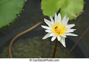 loto, stagno, bianco
