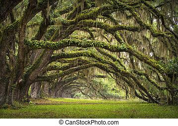 lowcountry, asso, paesaggio, quercia, albero, piantagione, vivere, foresta, sc, charleston, querce, viale, bacino, carolina sud