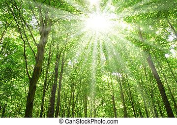 luce sole, foresta, albero