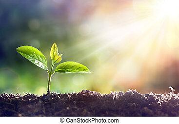 luce sole, pianta, giovane, crescente