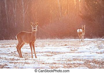 lucente, prato, raggi, capriolo, due cervi, presto, sole, mattina