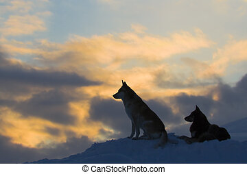 lupi, (dogs), silhouette, due
