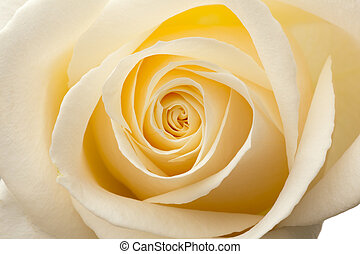 macro, dentro, roses., bianco, splendore