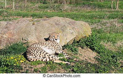 maculato, riposare, predatore, giù, bugie, sole, ghepardo, erba