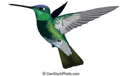 magnifico, colibrì