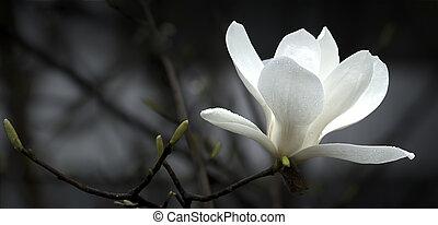 magnolia, fiore