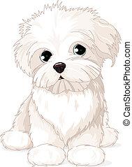 maltese, cucciolo, cane