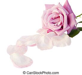 malva, uno, petali rose
