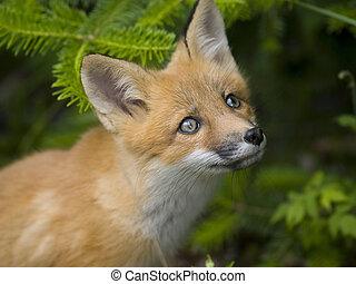 mammifero, g, volpe rossa