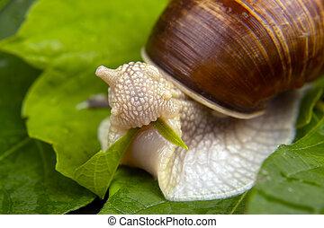 mangia, delicatezza, uva, lumaca, carne, verde, pomatia., invertebrate., mollusco, cibo., elica, leaves., buongustaio
