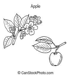 mano, albero, mela, ramo, disegno