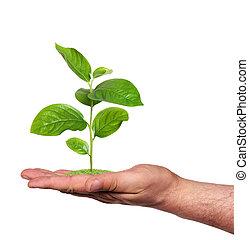 mano, isolato, pianta