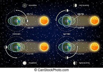 maree, illustrazione, diagramma, vettore, lunare, solare
