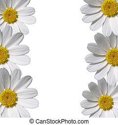 margherita, fiori, spazio, bordo, copia