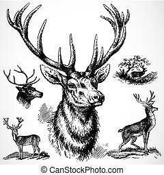 maschio, vettore, cervo