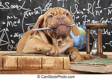 masticazione, mastino, cucciolo, matita, francese