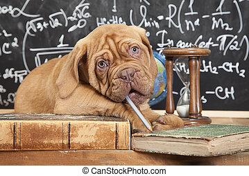 mastino, mucchio, libri, cucciolo, francese