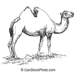 matita, cammello, illustrazione, mano, vettore, disegno