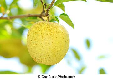 mela dorata