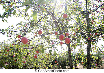 mela, giardino