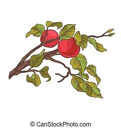 mela, illustrazione, mano, vettore, branch., disegno