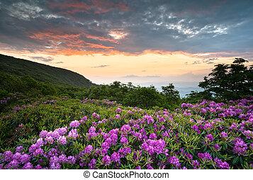 montagne blu, rododendro, cresta, scenico, primavera, sopra, nc, tramonto, asheville, appalachians, viale, fiori, fiori