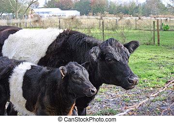mucca bambino