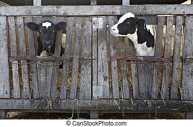 mucca latte, fattoria, bovino, agricoltura