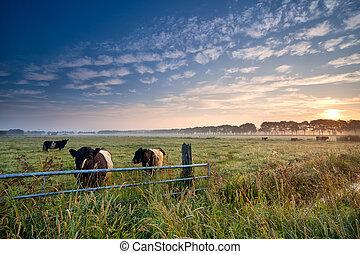 mucche, pascolo, alba, toro