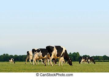 mucche, pascolo