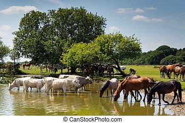 mucche, pony, lago
