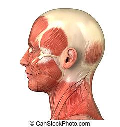 muscolare, testa, sistema, vista, laterale, destra, anatomia