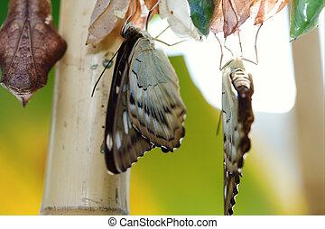 nascita, butterfly.