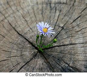 nato, fiore, ceppo