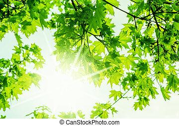 natura, acero, primavera, fondo, defocus