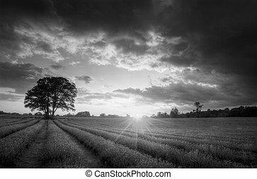 nero, campi, atmosferico, vibrante, tramonto, lavanda, estate, bianco, sopra, tramortire