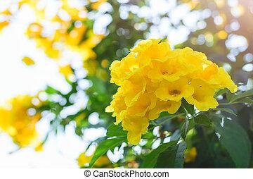 o, cespuglio, stans, tecoma, tromba, fiore giallo