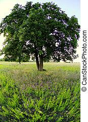 paesaggio, estate, albero, quercia