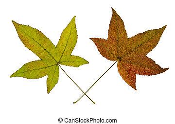paio, foglie, sfondo bianco, acero