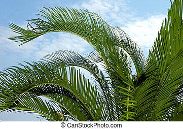 palm-tree, foglie