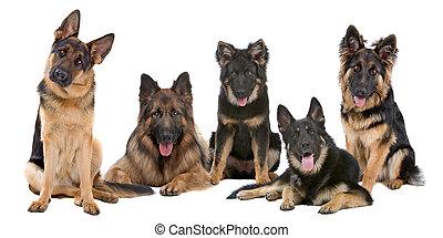 pastore tedesco, gruppo, cani