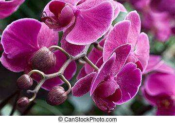 phalaenopsis, orchidea