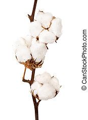 pianta, cotone
