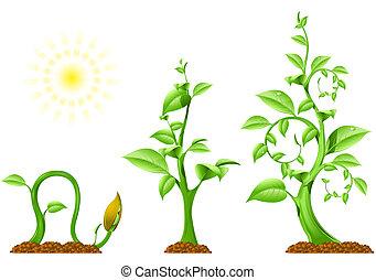 pianta, crescita