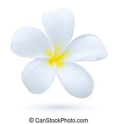 pianta esotica, fiore, arte, fiore, hawai, frangipani, tropicale, vettore, plumeria, bianco