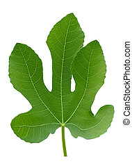 pianta, foglia, albero grande, isolato, fico verde, macro