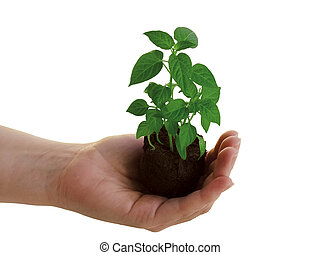 pianta, mano