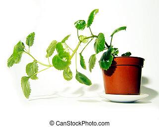 pianta, mette foglie